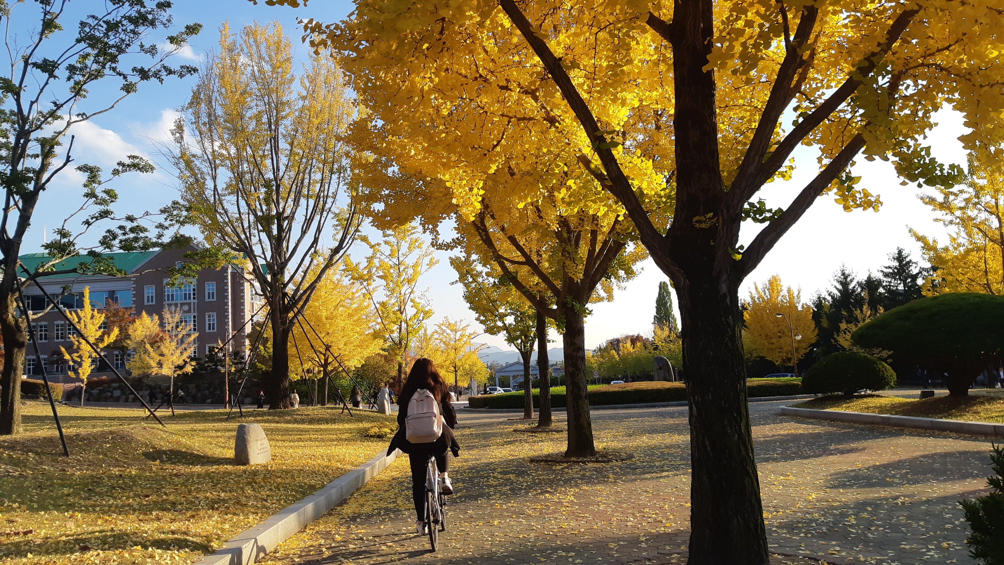 【韓國 - 啟明大學】金黃色的樹葉映出了秋意,有了陽光的照耀,樹枝上的樹葉更顯得神采洋溢,偶爾隨著微風翩翩起舞,然後輕飄飄的落到路面,泰然自若地躺在路旁休息。                                                               (UE4B 陳曉萍)